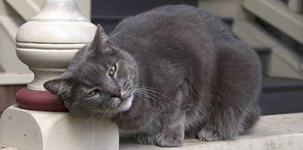 Шартрез (картезианская кошка) кошка: подробное описание, фото, купить, видео, цена, содержание дома