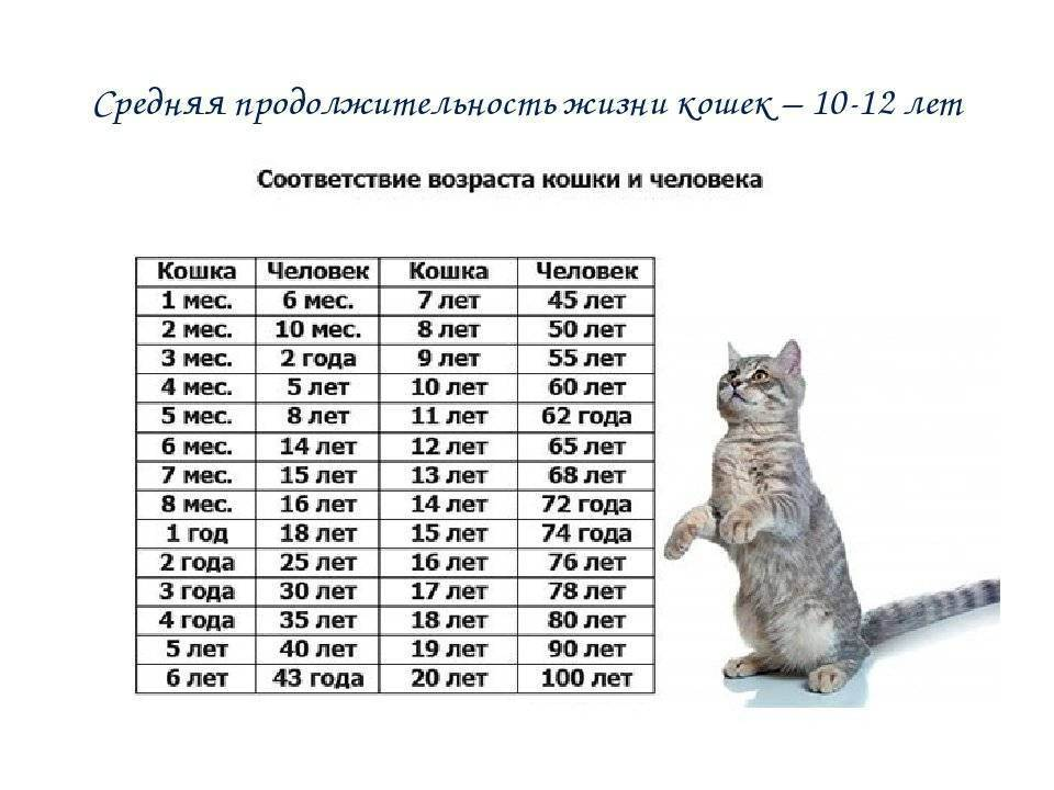 Определяем кошачий возраст по человеческим меркам, используя таблицу