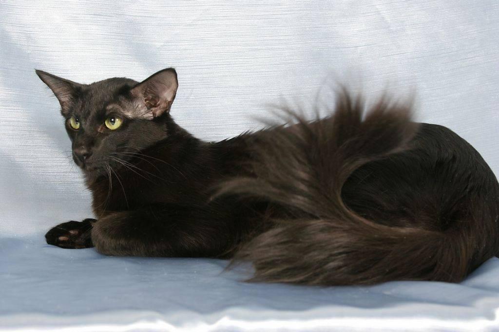 Яванская кошка (яванез): описание породы и характера