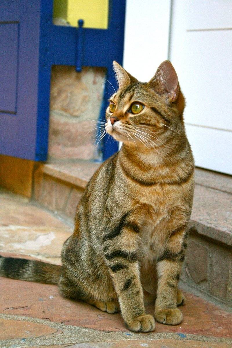Как отучить кота или кошку мяукать   zdavnews.ru
