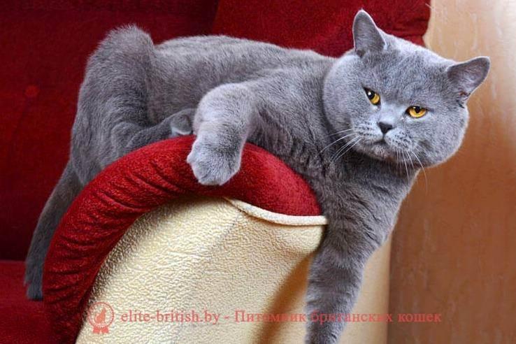 Когда можно сводить британскую кошку с котом?