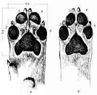 Сколько пальцев у кошки на передних и задних лапах: полидактия и интересные факты