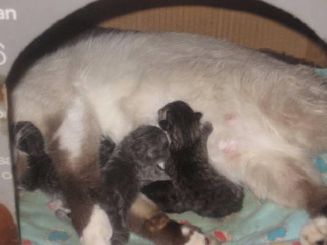 Разбираем сколько длится беременность у кошек: сроки, признаки, календарь