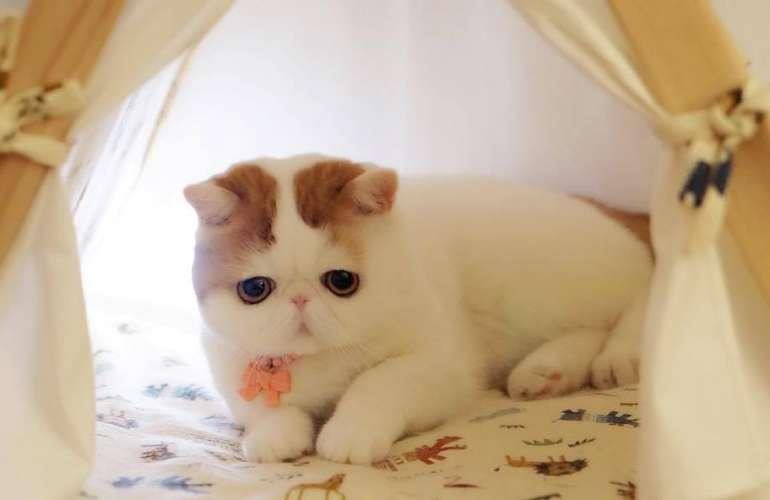 """""""плюшевый"""" кот: порода, фото и название, описание"""