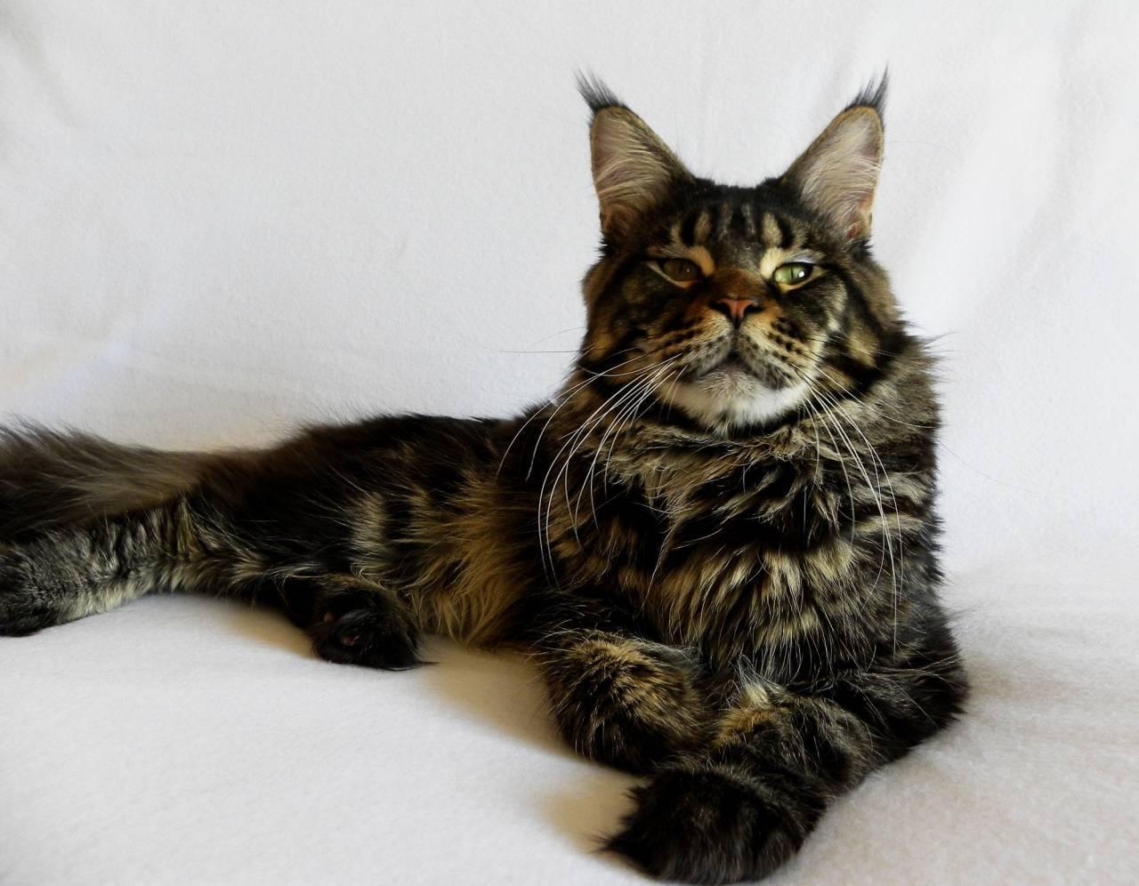 Содержание породы мейн-кун: особенности, уход и кормление большого кота