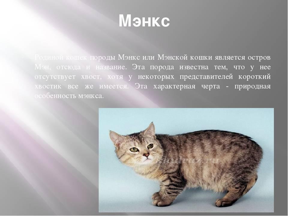 Мэнкс (мэнская кошка): описание породы, характер, отзывы, фото