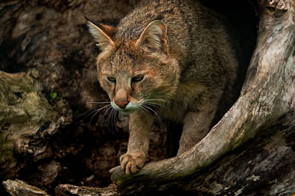 Камышовый кот – как хищник стал прародителем экзотической породы