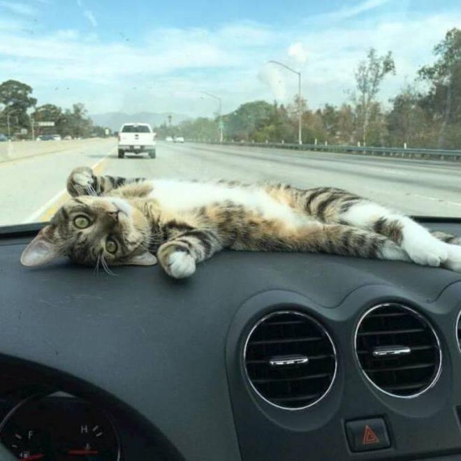 Как перевозить кошку в машине?   все про путешествия с животными