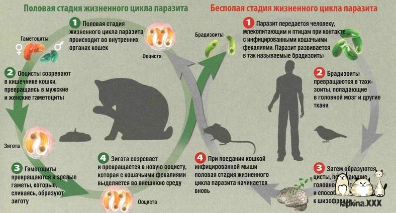 Токсоплазмоз, беременность и кошка