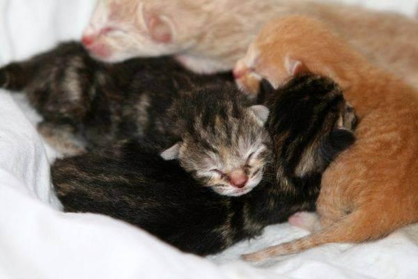 Может ли кошка съесть своих котят — причины