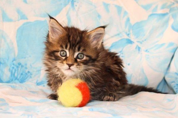 Как адаптировать котёнка к новому дому