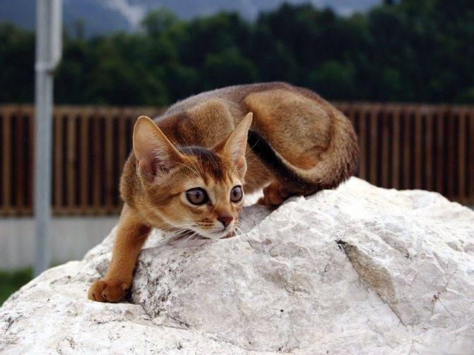 Самые опасные кошки в мире: топ-11