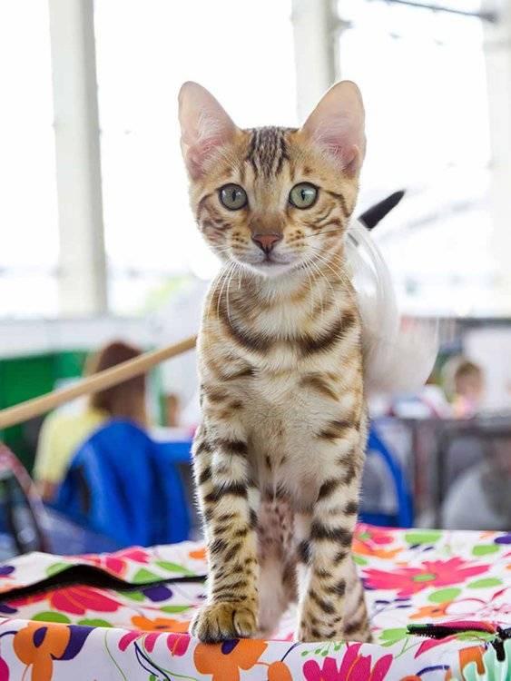 Серенгети кошка