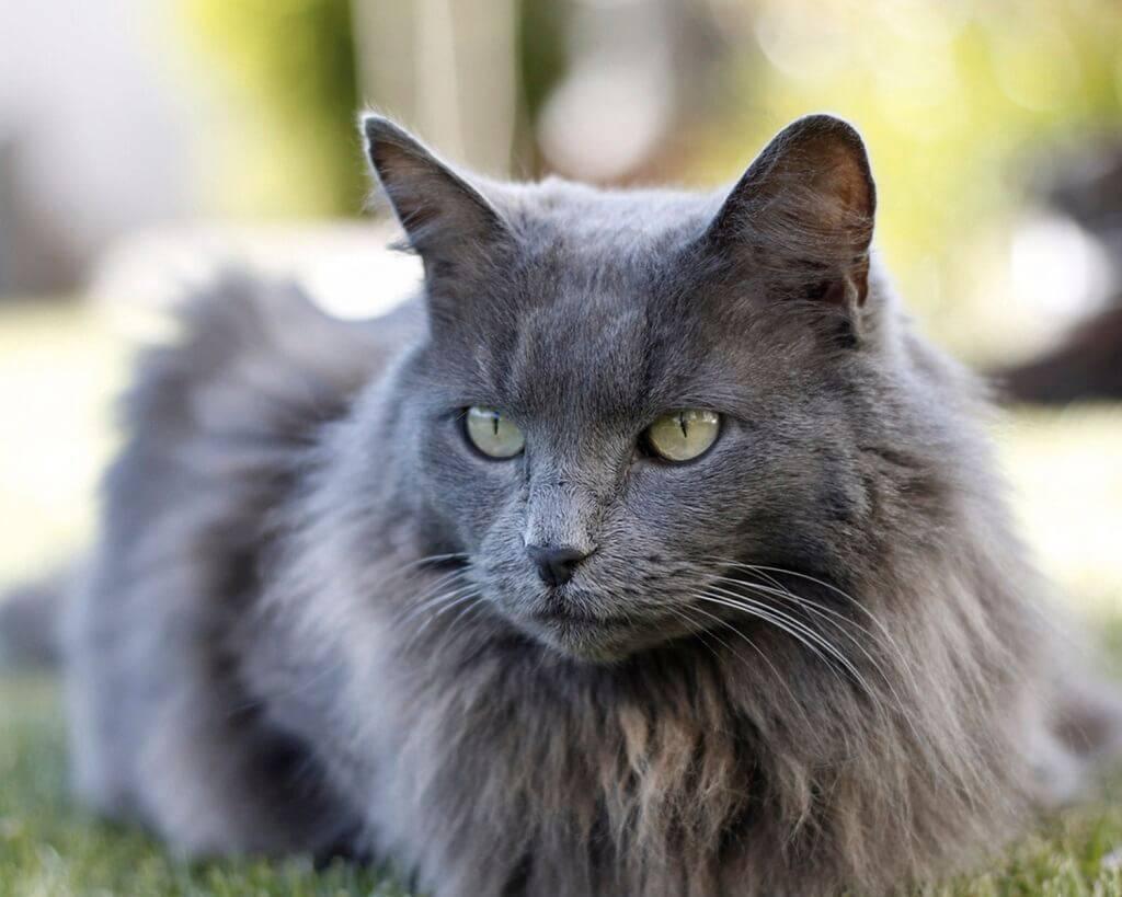 Нибелунг – порода кошек: фото длинношерстной русской голубой, описание в соответствии со стандартом