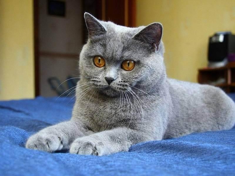 Клички для британских кошек и котов