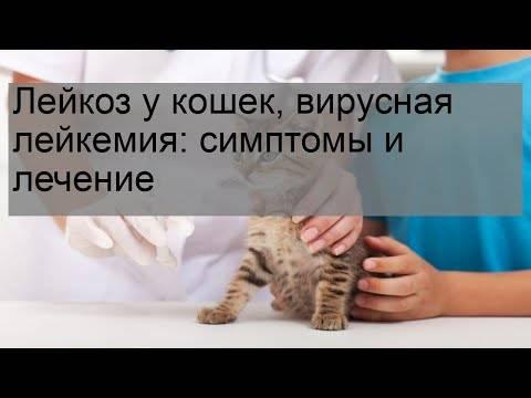Лейкоз у кошки. как происходит заражение и развитие болезни