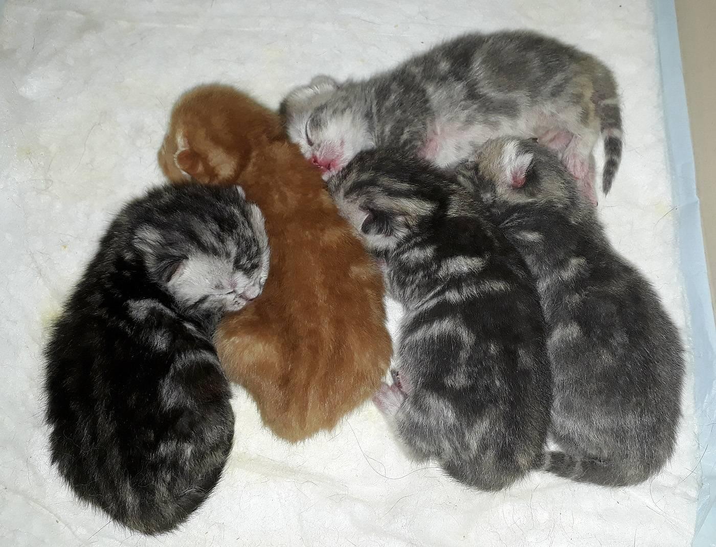 Сколько британская кошка может родить котят в первый раз