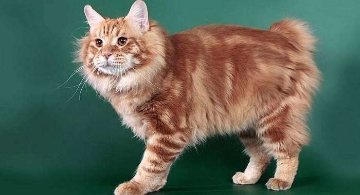 Курильский бобтейл: описание породы кошек, котята, цена, фото