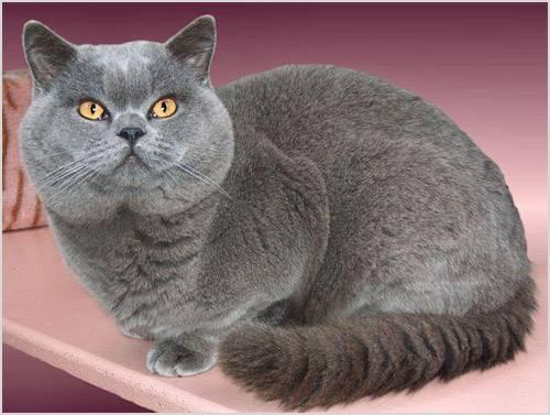 Британская кошка (короткошерстная) – описание породы и характера, уход и содержание, кормление