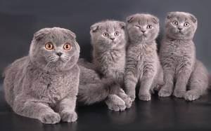 Котята вислоухие шотландские новорожденные