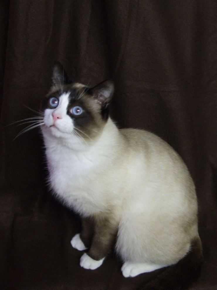 Порода кошек сноу-шу (фото): кошачья аристократия в ореховых тонах