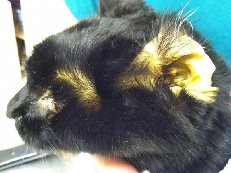Заболевания печени и желчного пузыря у кошек