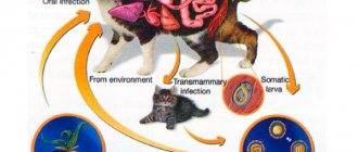 Глисты у кошек и котов: виды (с названиями), симптомы и лечение