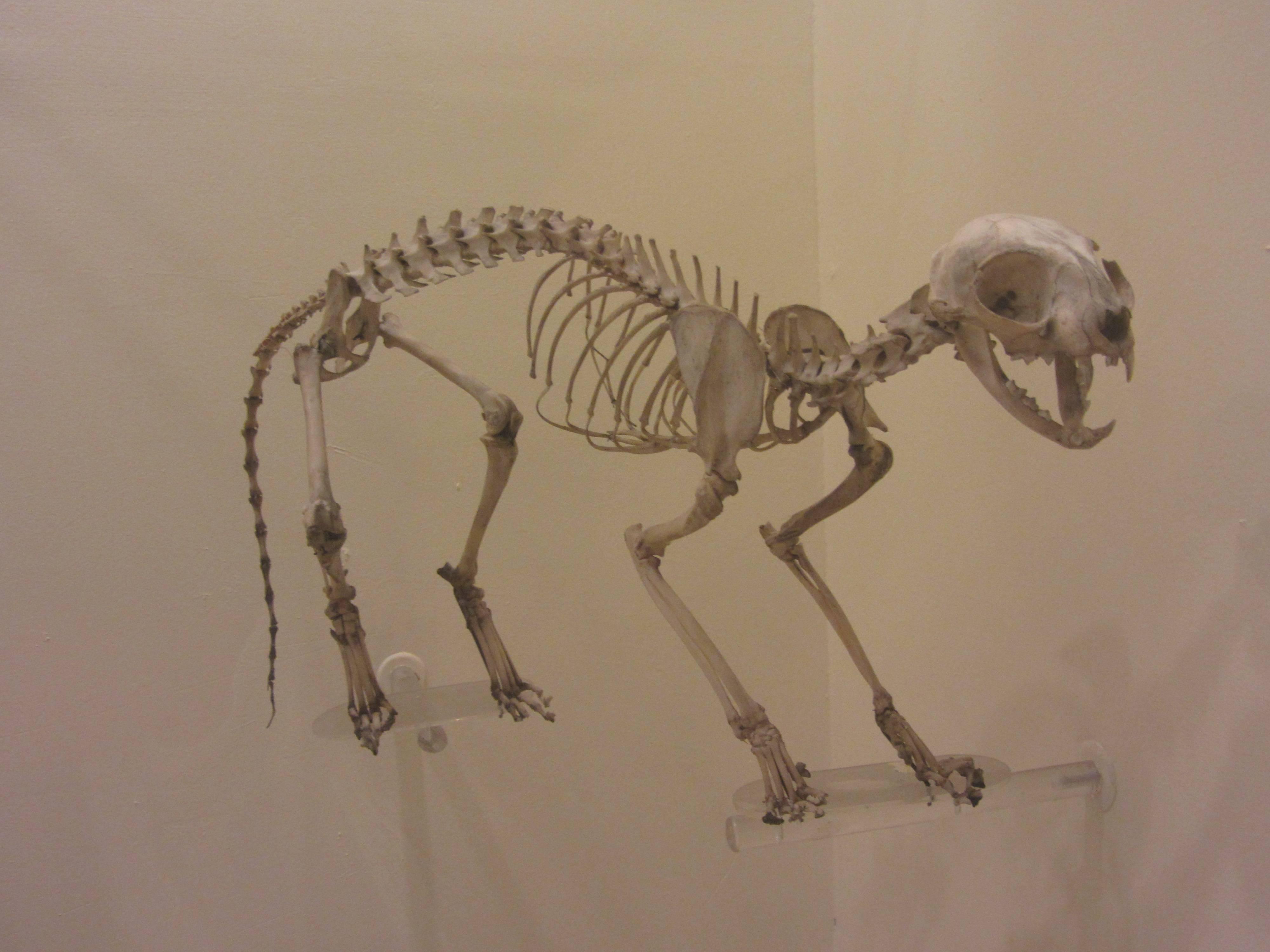 Немного анатомии: из чего состоит скелет кошки