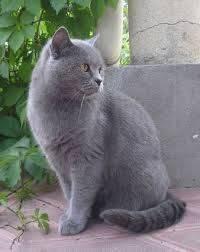 Особенности внешнего вида и характер британской короткошерстной породы кошек
