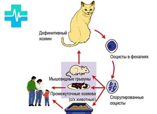 Как можно заразиться от кошки токсоплазмозом, передается ли он человеку