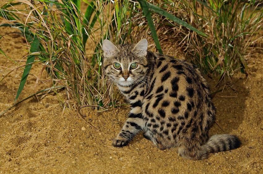 Порода африканских диких котов сервал: характер и содержание в домашних условиях