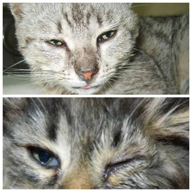 Простуда у кошек и котов: симптомы и лечение простудных заболеваний в домашних условиях