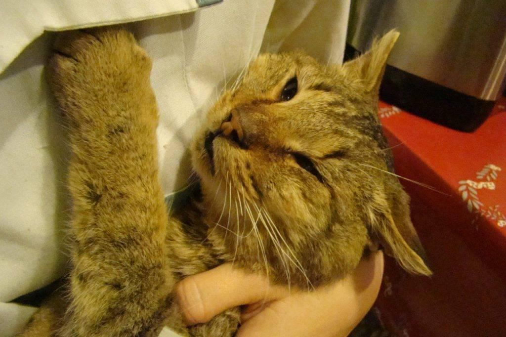Инсульт у кошек и котов: симптомы и лечение | признаки, микроинсульт
