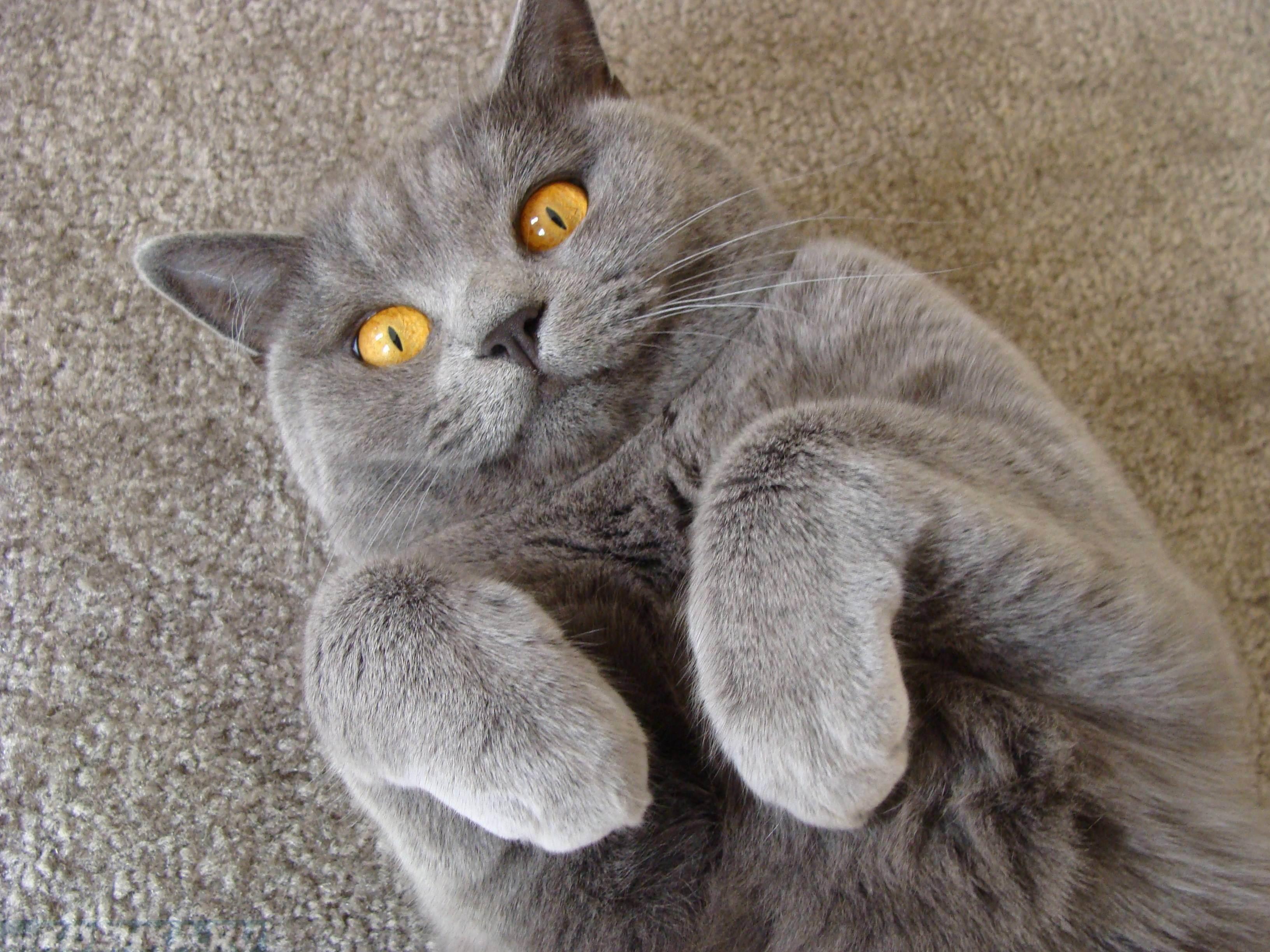 Когда нужно кастрировать кота британца