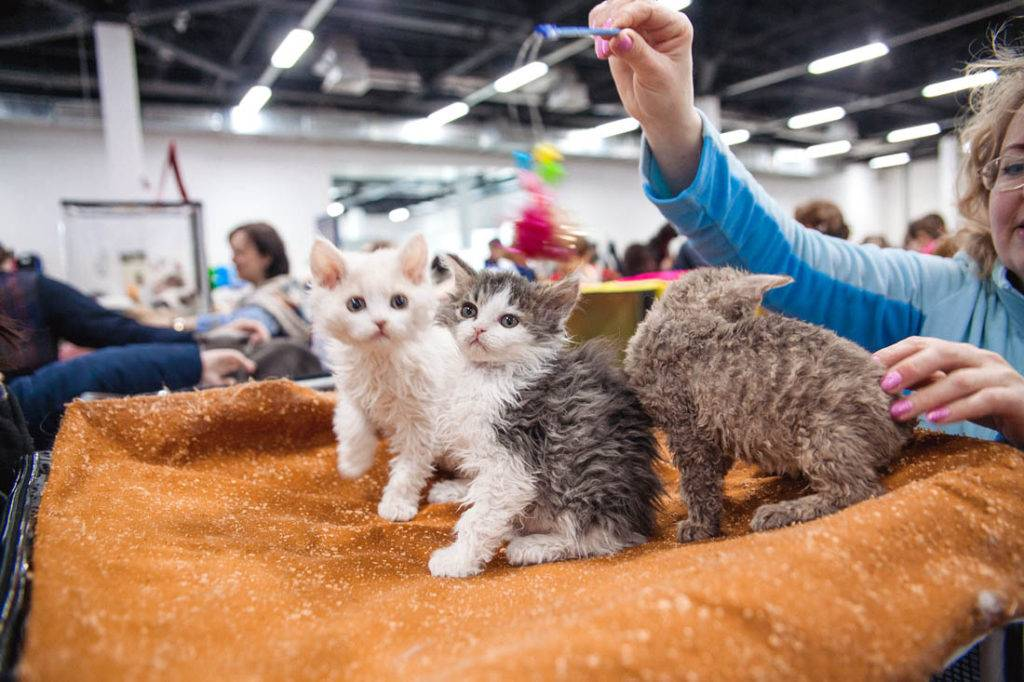 Как начать разводить кошек в домашних условиях: основные советы будущим заводчикам