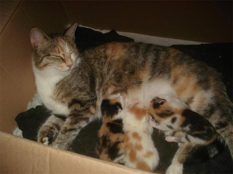 Описание и фото трехцветных пушистых и гладкошерстных кошек разных пород