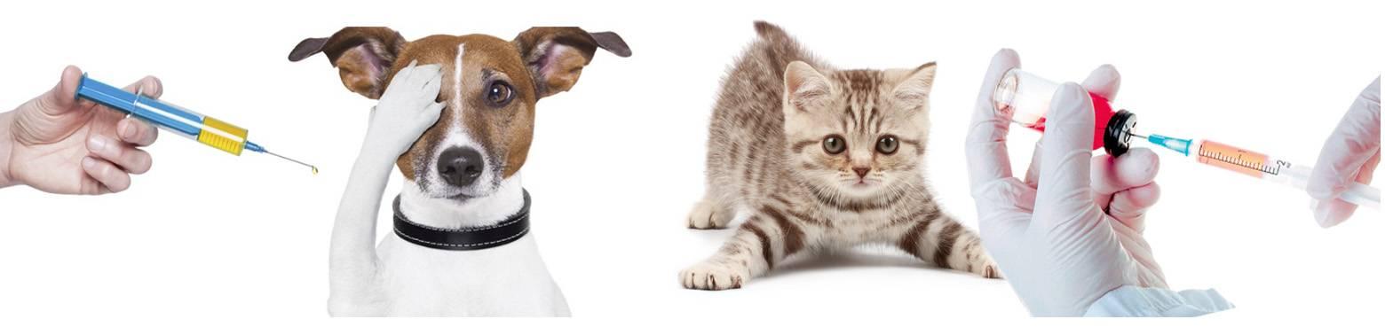 Прививка против бешенства у кошек: виды вакцин, правила вакцинации, возможные осложнения