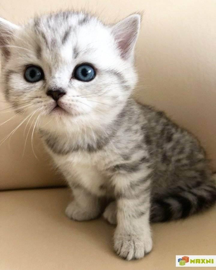 Что едят и чем лучше кормить шотландских кошек-подбираем рацион питания для котят и взрослых