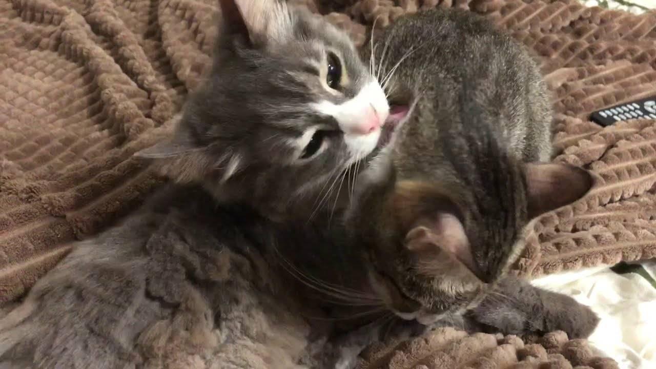 Кошка постоянно лижется: причины такого поведения