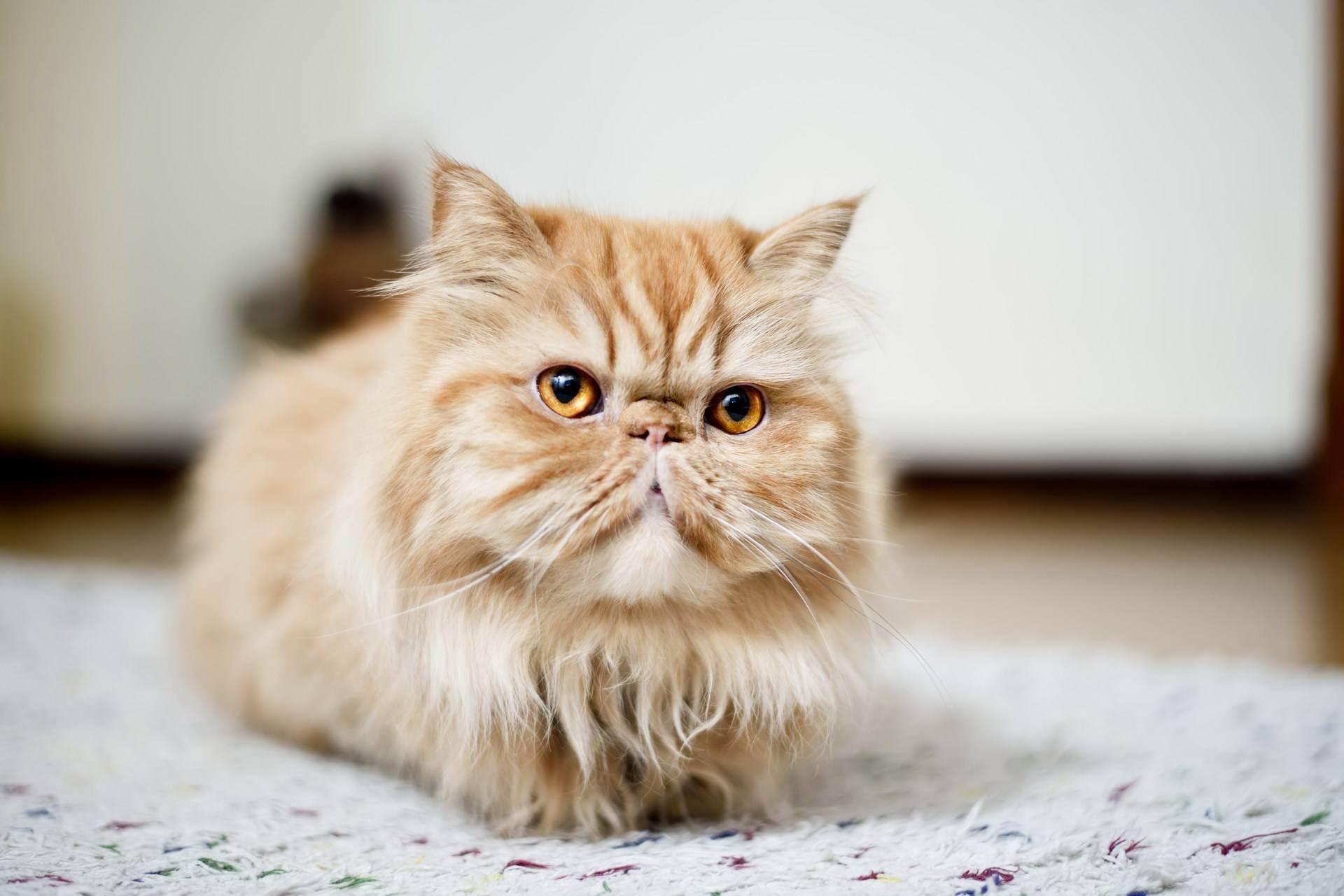 Сколько живет сибирская кошка – продолжительность жизни