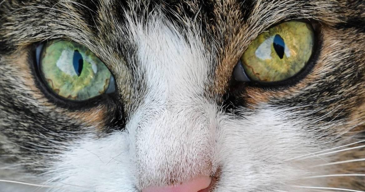 Расширенный зрачок у кошки: причины, возможные заболевания, методы лечения, отзывы