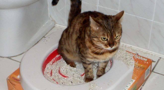 Как помочь котенку при запоре, массировать животик и какое слабительное дать