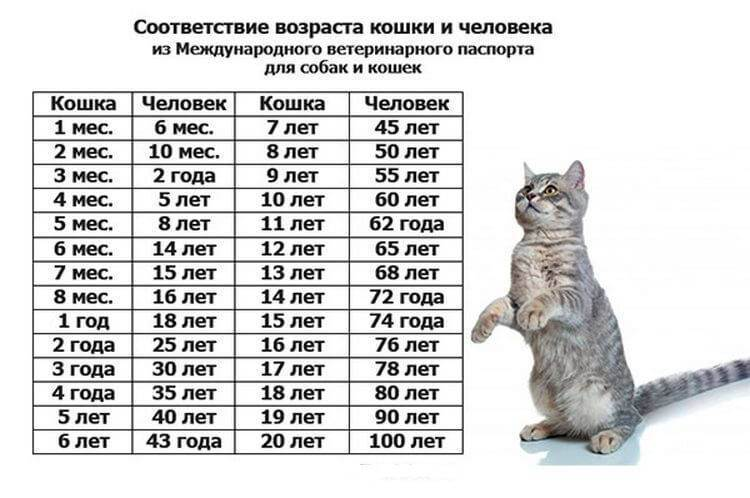 Возраст кошек и котов по человеческим меркам: таблица соотношения с человеком, как посчитать
