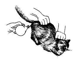 Как сделать клизму котенку в домашних условиях при запоре – показания, противопоказания, техника манипуляции
