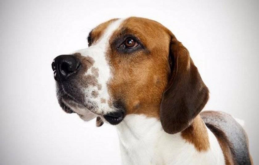 Порода собак фландрский бувье: описание, характер собаки, уход, фото
