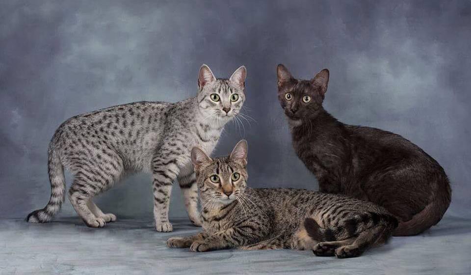 Китайская кошка или гобийская серая кошка