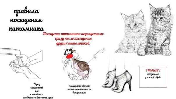 Хауси (чаузи) – смесь абиссинской кошки и болотной рыси