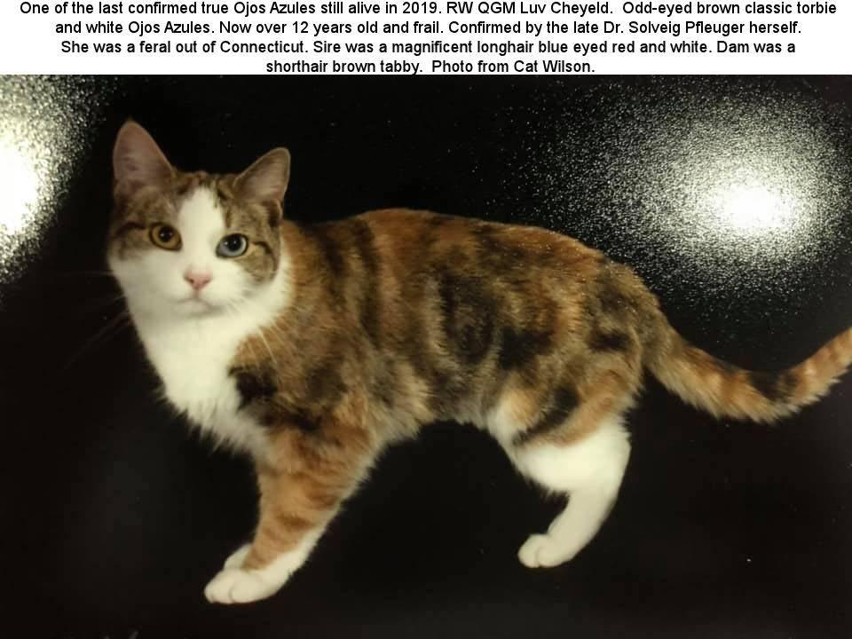 Охос азулес: описание породы кошек с фото, особенности содержания