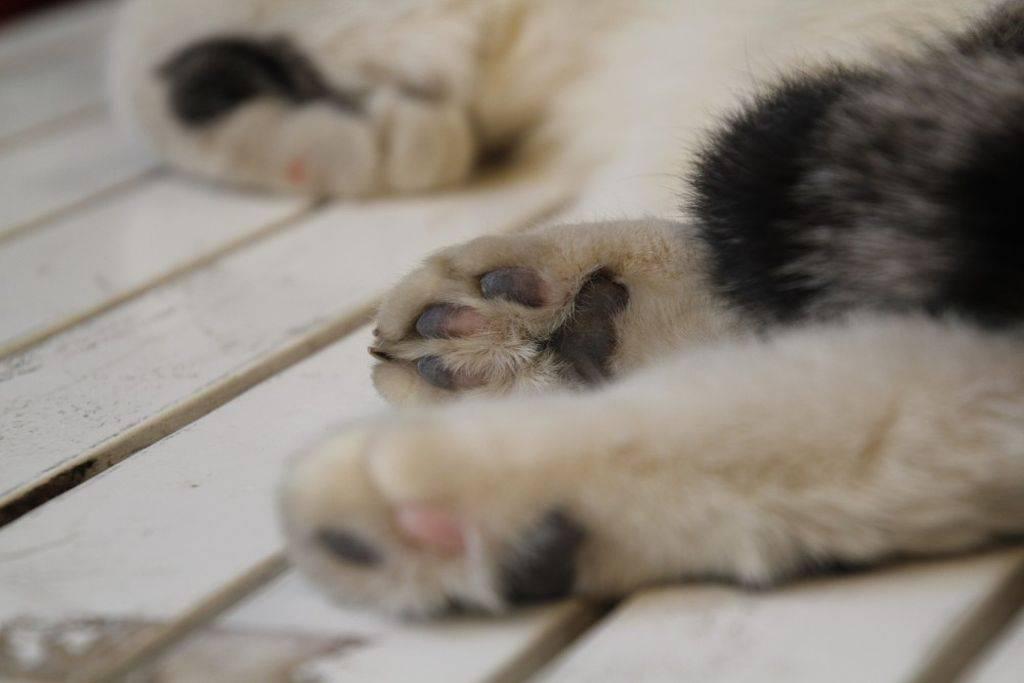 Отек лапы у кота причины и что делать - oozoo.ru