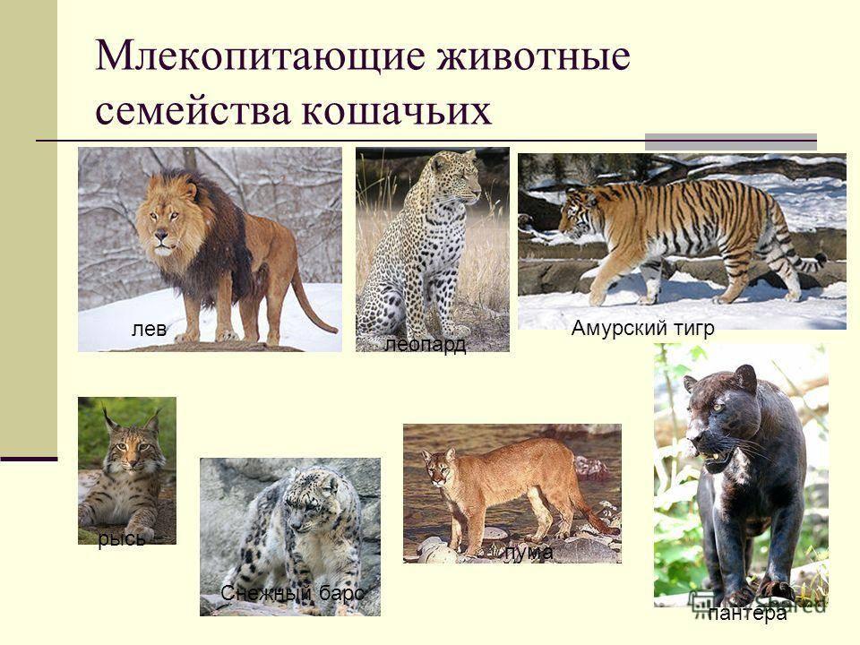 Список животных из отряда хищные